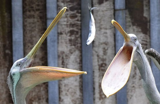 Two pelicans enjoy their lunch at the Hanover Zoo in central Germany.