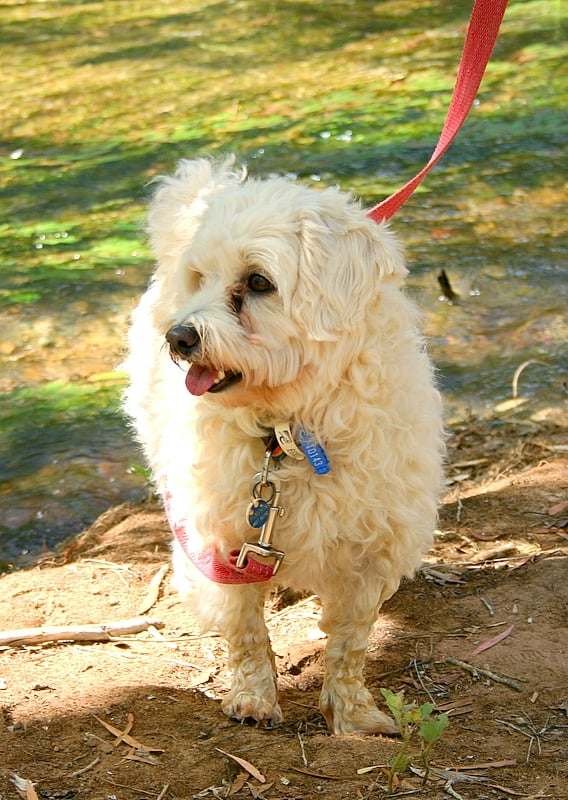 This particular, sandy-colored Maltipoo looks on the bigger side. Typically, Maltipoos weigh between 5 to 20 pounds. Source: Flickr User Shek Graham