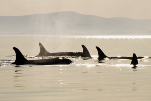 Killer Whales Have Picky Eating Habits