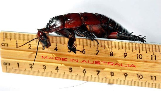 Would You Keep a Giant Cockroach as a Pet?