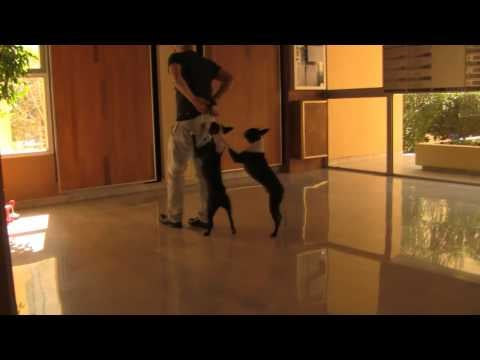Video of Dog Walking on Front Legs