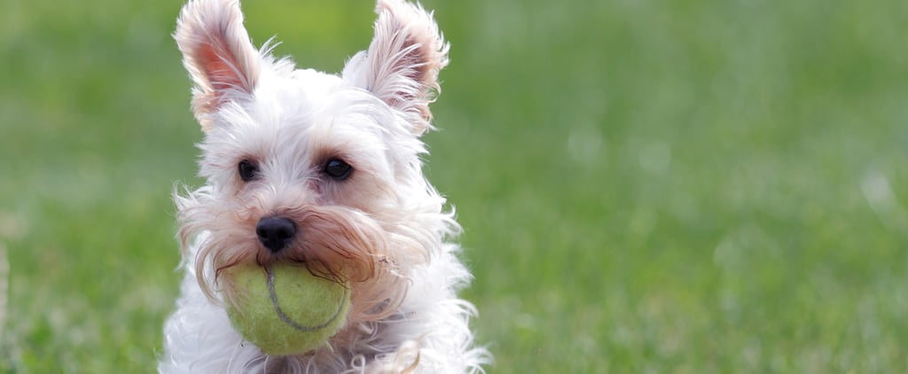 What Do You Know About Miniature Schnauzers?