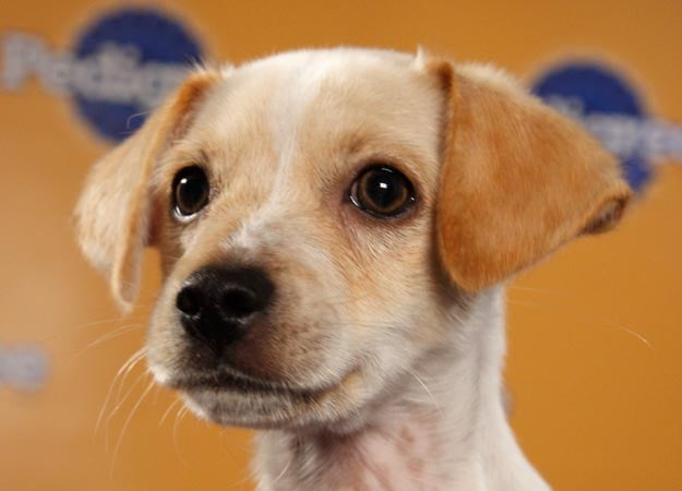 Aptly named Fumble is a Chihuahua/terrier mix. Let's hope he doesn't have a namesake performance! Source: Animal Planet
