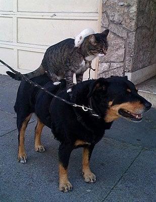 Rat Riding Cat Riding Dog