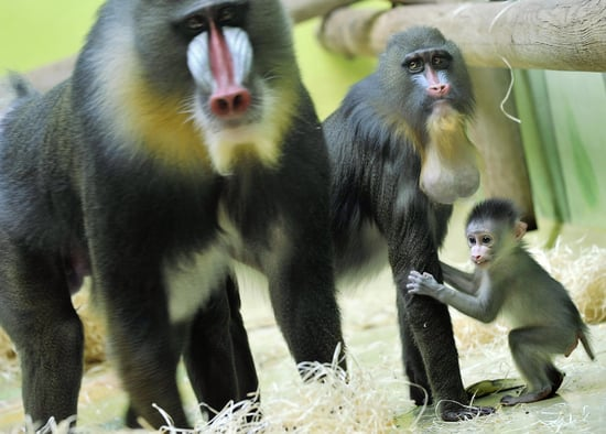 Mandrill Baby Chills With a Literary Family