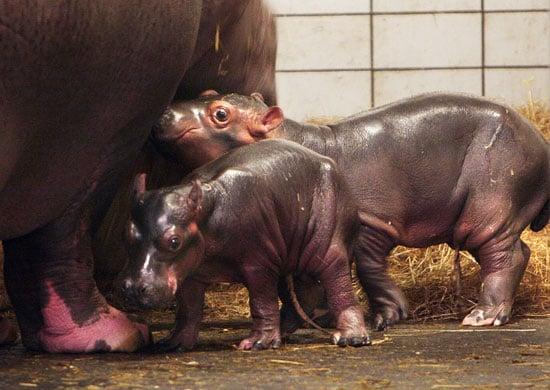 Meet Baby Hippos!