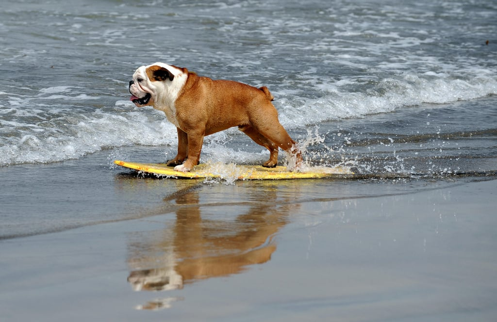 Surf Dogs Rule... Show Dogs Drool
