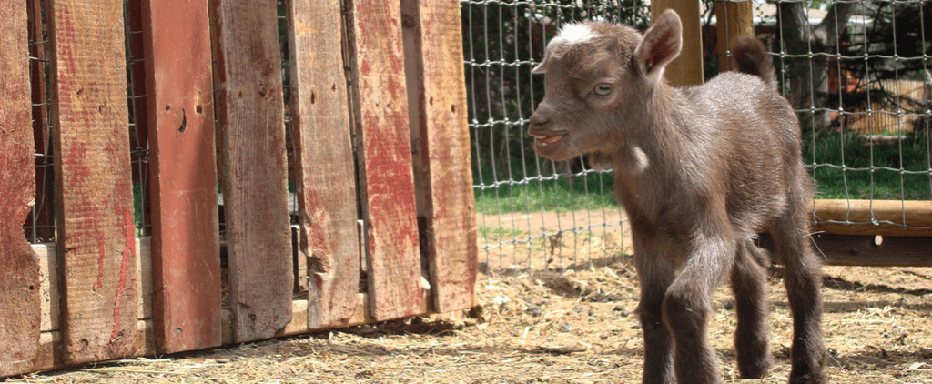 Now You Can Spend Your Free Time Snuggling Baby Goats