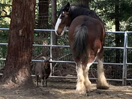 Goat Helps Clydesdale Escape from Farm