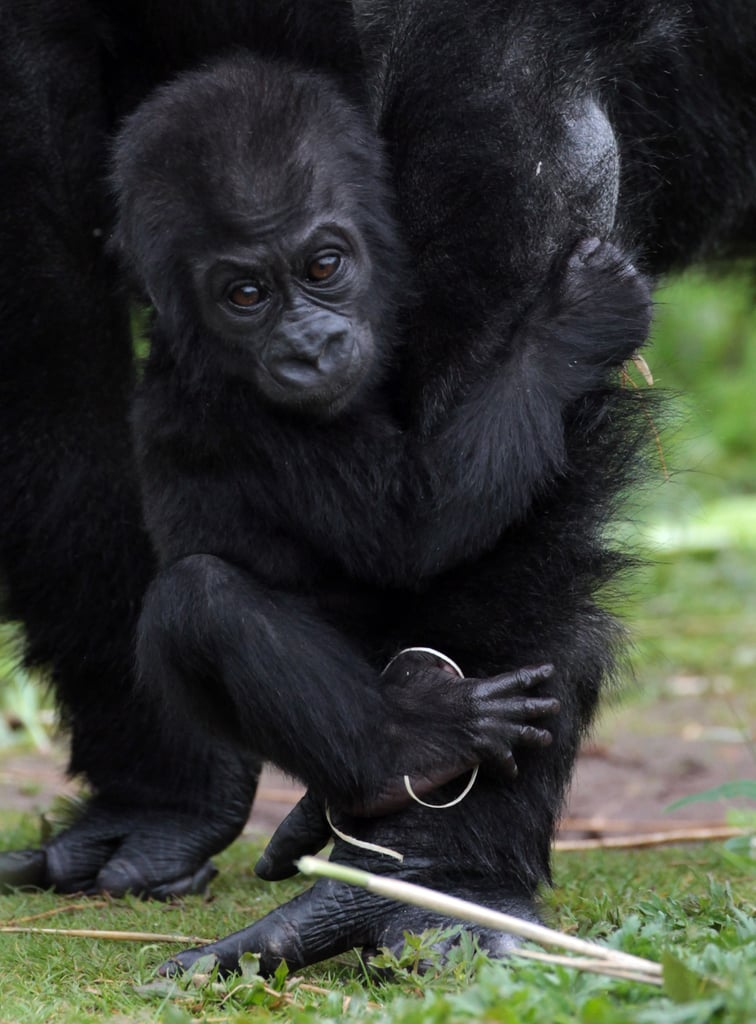 The Ape-ple of Mom's Eye Tries Out His Tootsies