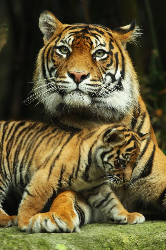Tiger litters generally consist of three to four cubs, and the babies stay with their mother until they reach 2 years old.
