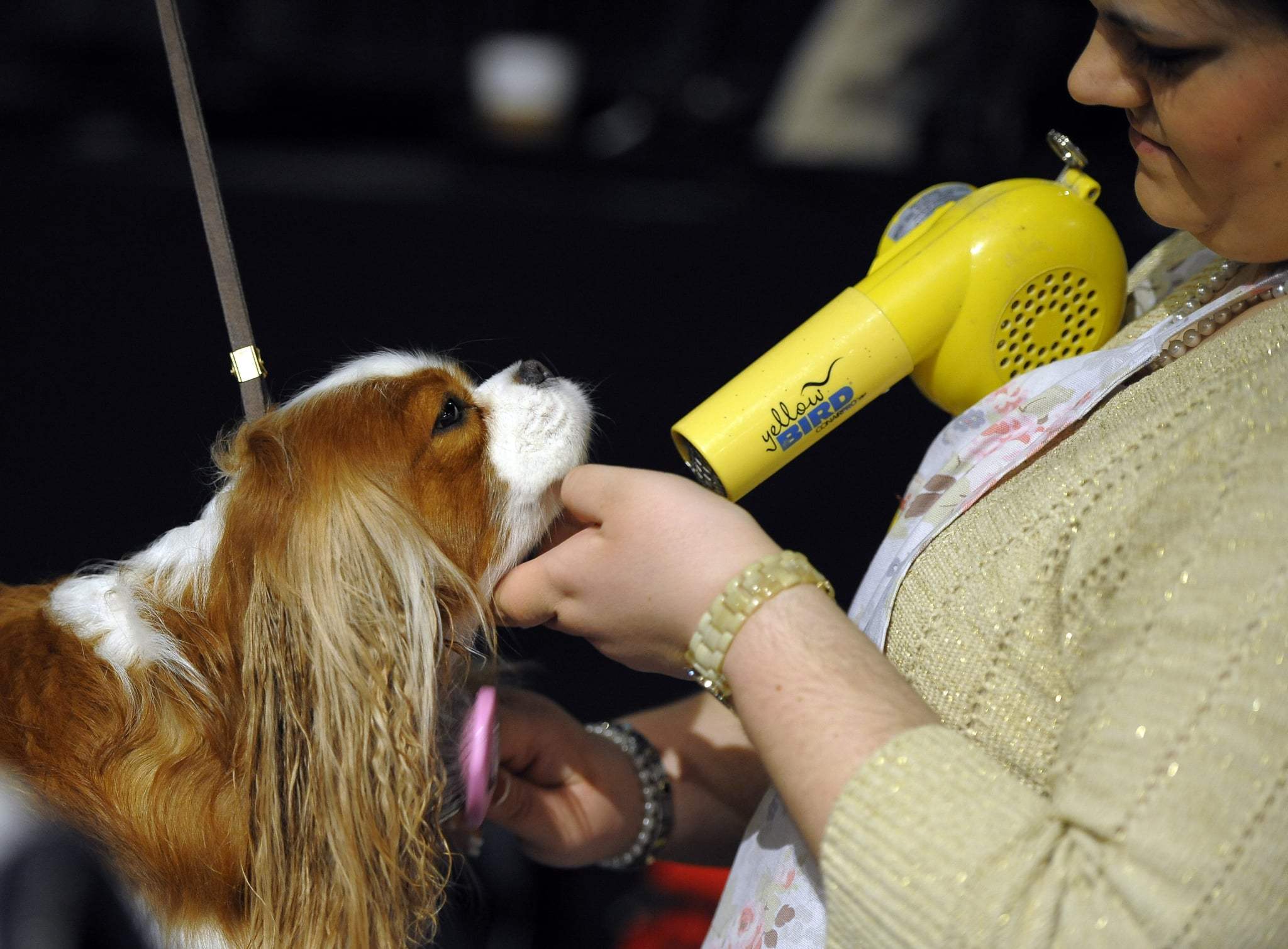 Drying off backstage at the Westminster Kennel Club Dog Show.