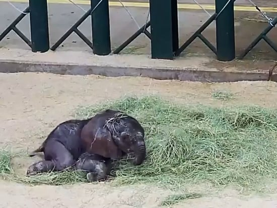 Week-Old Elephant Baby Already Knows How to Act Like an Adorable Brat