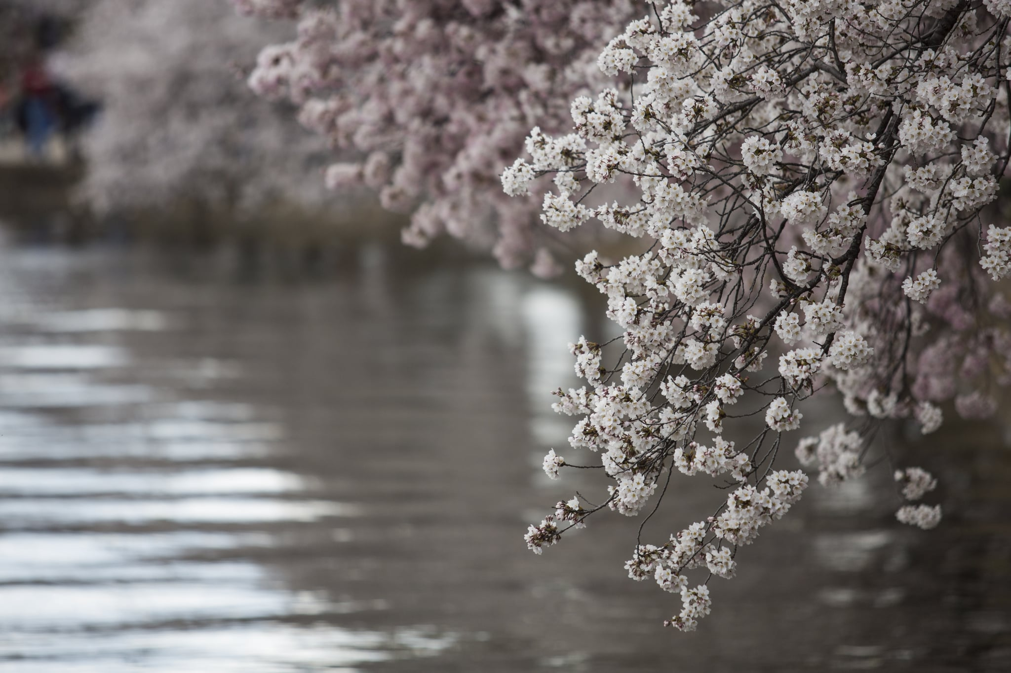 Washington DC Is a Cherry-Blossom Heaven Right Now