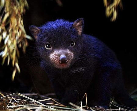 Cute Alert: Baby Tasmanian Devil Emerges From Mom's Pouch