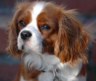 5 Small Dog Breed Myths