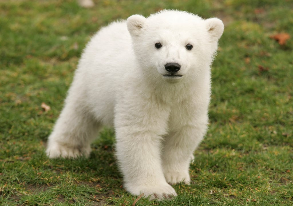 Who could forget darling Knut, the resident celebri-bear at the Berlin Zoo until his untimely passing last year?