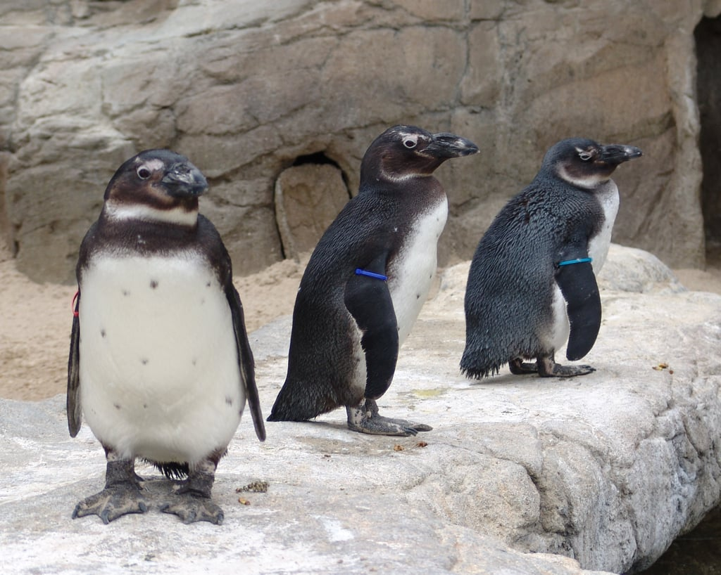 The African Penguins live in colonies on dozens of islands, with the largest on Dyer Island off South Africa.