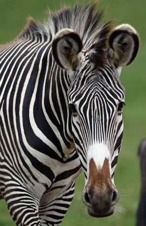 This zebra poses for a perfect pic.