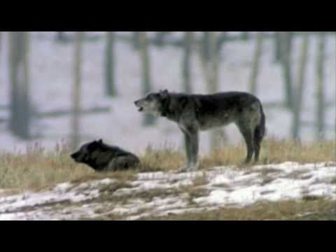 Auto-Tuned Wolf Howls Should Be on Eclipse Soundtrack