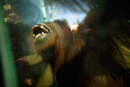 National Zoo Orangutan Exhibit Is Hands-On Fun