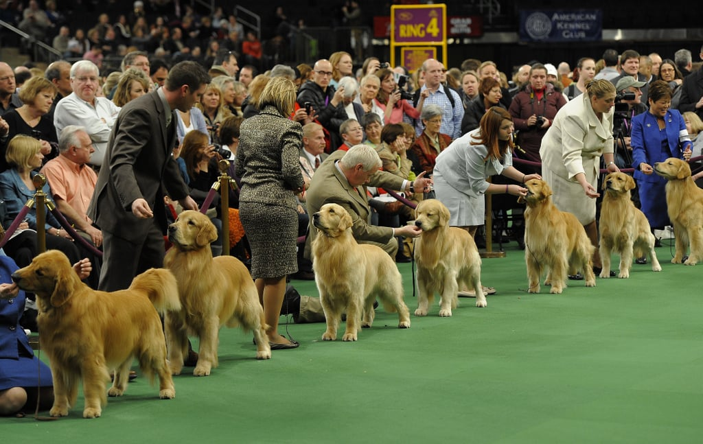 Golden Retrievers in the ring.