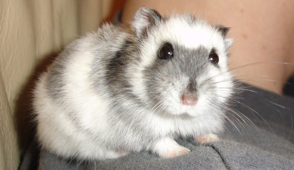 An adorable Russian dwarf hamster.