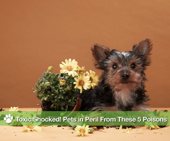 Household Items That Cause Pet Poisoning