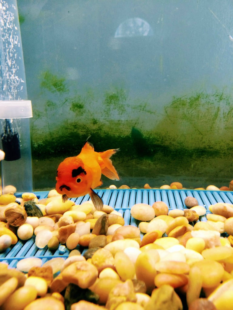 """I just bought the angriest goldfish of all time."" Source: Reddit user brovanz via Imgur"