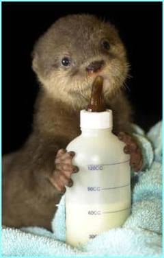 Cute Alert: Baby Otters