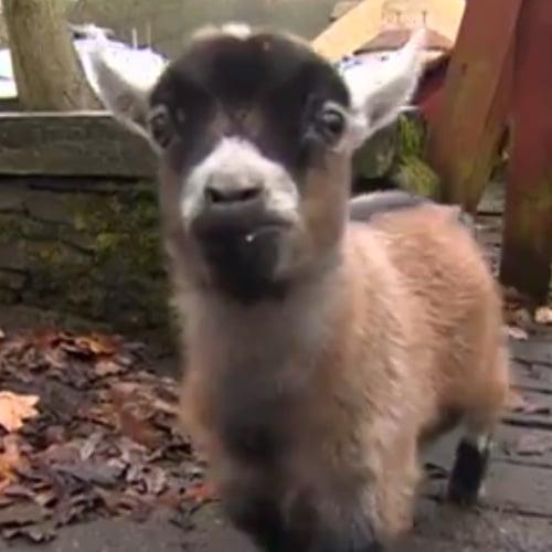 Benjamin the Baby Goat   Video