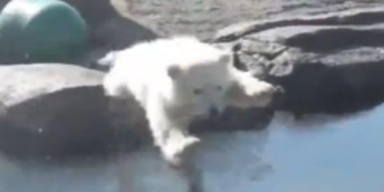 Ridiculously Cute Polar Bear Cub Makes A Splash With Public Debut