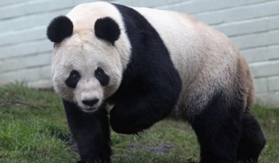Britain's Panda Pregnancy Fails