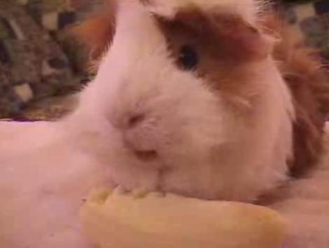 Guinea Pig Eating a Banana