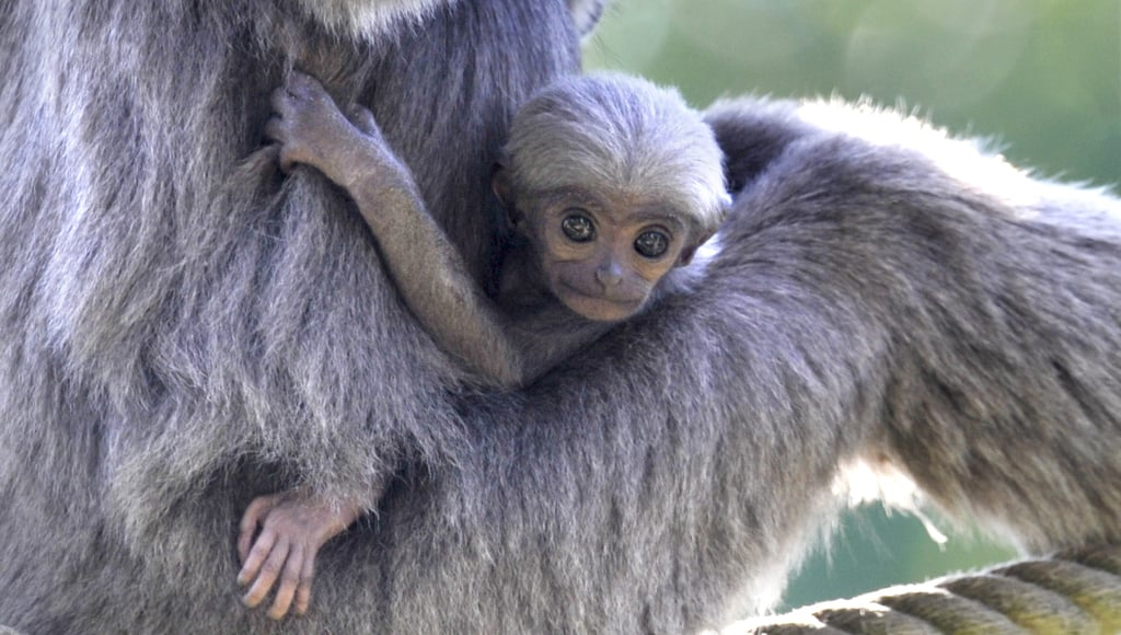 In Munich, a baby silvery gibbon grabs onto mom for a ride.