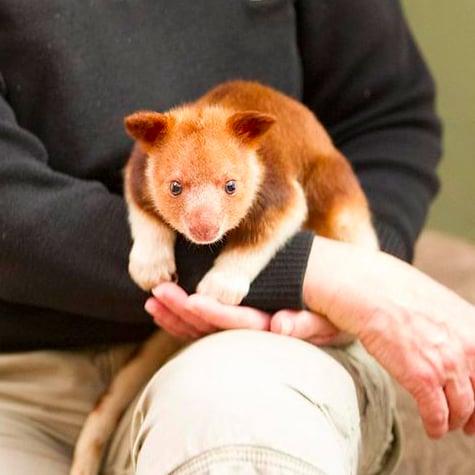 Orphaned Tree Kangaroo Saved by Wallaby