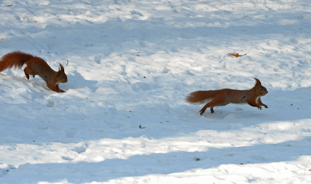 One red squirrel chased another in the Polish capital of Warsaw.