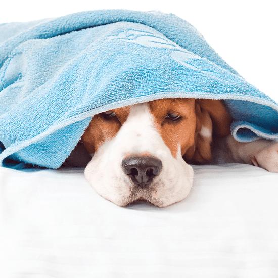 Seasonal Allergy Symptoms in Pets