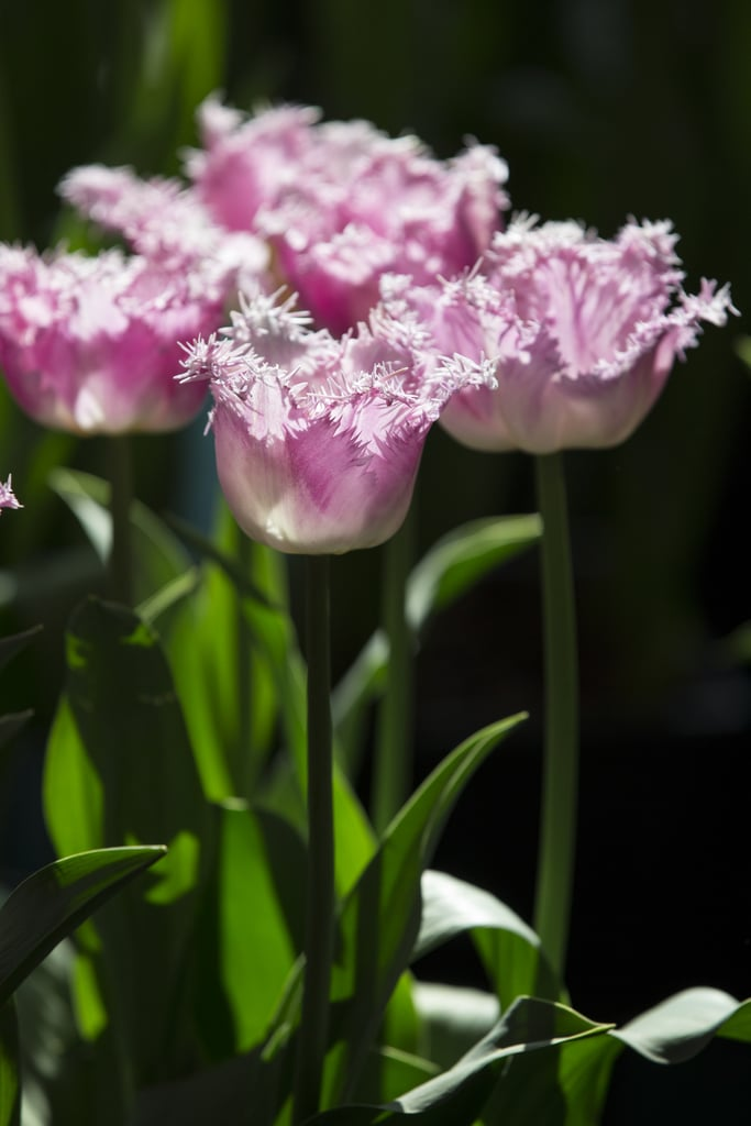 Tulips were on display at the Royal Horticultural Society's plant fair in London.