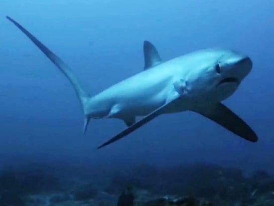 WATCH: 'Ninja' Sharks Attack Prey With Their Teeth AND Tails in Exclusive Shark Week Clip