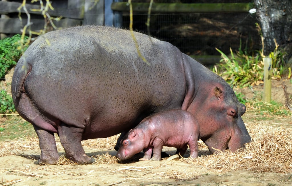 Say Hello to a Baby Hippo!