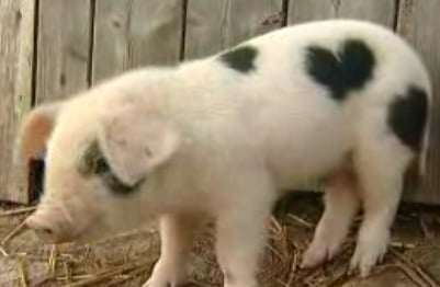 Meet Valentine: The Piglet With a Heart-Shaped Birthmark