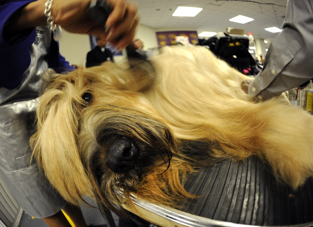 Ahhhhhhhh. Harry the Briard seemingly has no objections to the multiple sets of hands working on him for his big day!