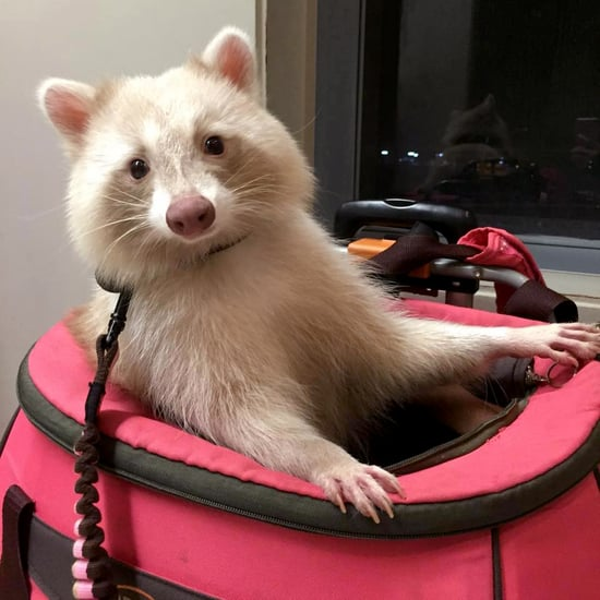 Tan, Shaved and Well-Behaved: Meet Uni the Cinnamon Raccoon