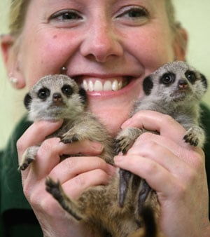 OMG! Hand Reared Meerkats Lia and Roo Make a Big Debut