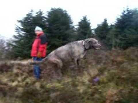 Irish Wolfhounds or Scottish Deerhounds?