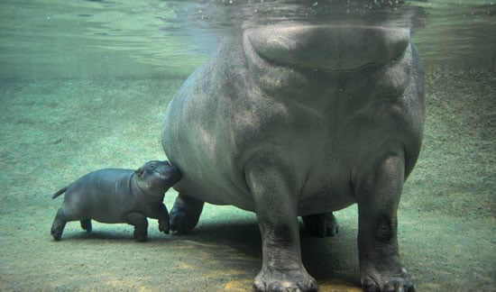 Baby Hippo Cuddle Bumps Mom