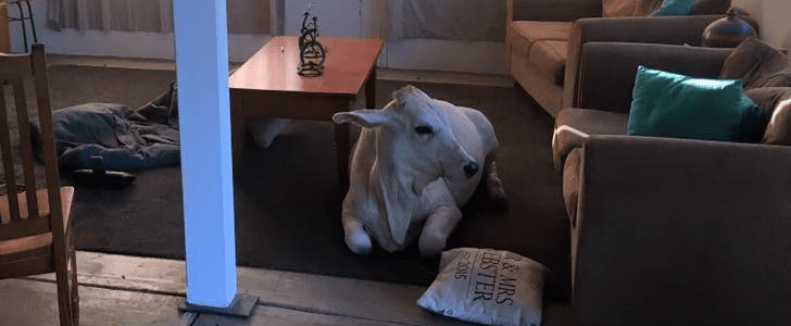 If You Never Considered a Pet Cow Before, You Definitely Will Now