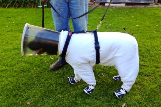 This Dog in a Bee Safety Suit