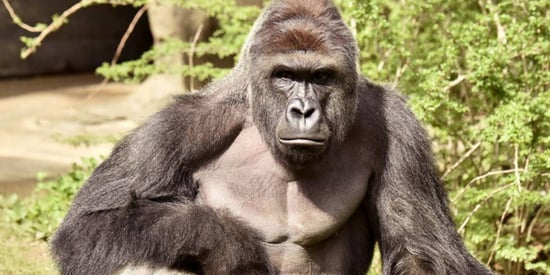 Cincinnati Zoo Deletes Social Media Accounts Under Barrage Of Harambe Memes